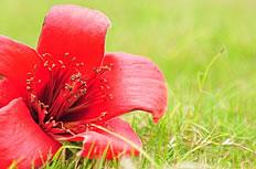 草地红色木棉花高清图片