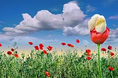 蓝天白云罂粟花图片