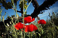 野生罂粟花图片