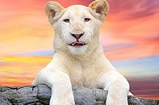 黄昏下的白狮子图片