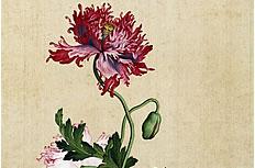 写意罂粟花图片