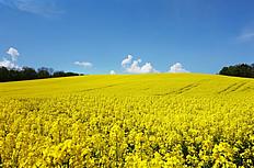 黄色油菜花开图片