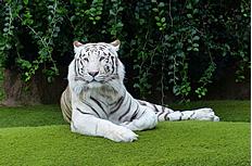 白色孟加拉虎图片