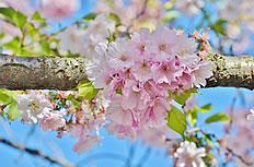 粉红色樱花图片