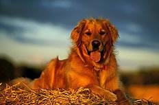 枯草堆上趴着的狗狗图片