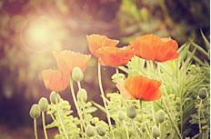 非主流罂粟花图片