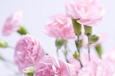 粉红色康乃馨图片