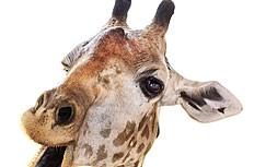 可爱长颈鹿图片