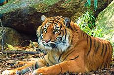 野生老虎图片
