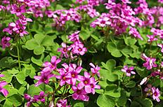 四叶草花图片
