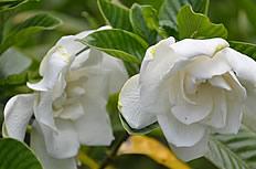唯美栀子花花朵图片