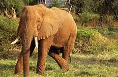 野生大象图片