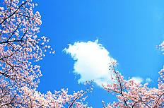 唯美樱花蓝天图片