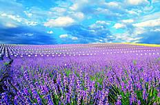 普罗旺斯的薰衣草花海图片