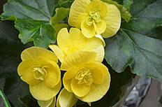 美丽得黄色海棠花图片