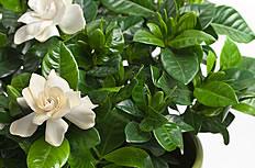 白色栀子花盆栽图片