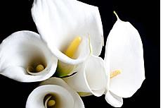 白色的马蹄莲花图片