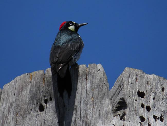 橡树上的啄木鸟图片