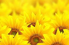 唯美向日葵花海图片