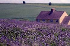 普罗旺斯薰衣草庄园图片
