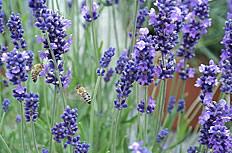 蜜蜂与薰衣草图片