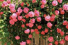 花园里的月季花图片