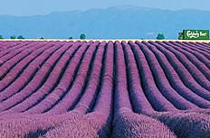紫色薰衣草庄园图片