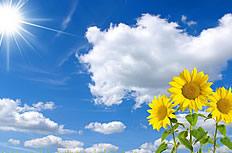 蓝天白云向日葵图片