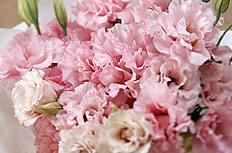 康乃馨花束图片
