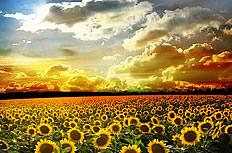 高清向日葵图片