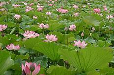 莲花池图片