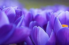 紫色木兰花图片