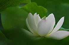 白莲花图片