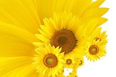 高清向日葵花卉图片