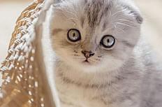 可爱折耳猫图片