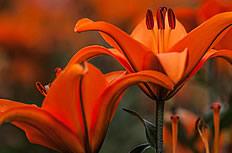 美丽的红色百合花图片