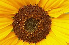 高清唯美向日葵图片