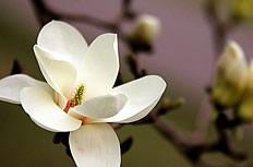白色玉兰花图片