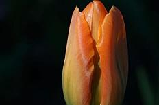 唯美橘色郁金香图片