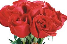 美丽的玫瑰花图片