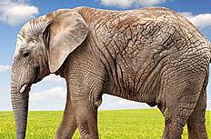 草原上大象图片