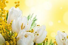 唯美白色郁金香图片