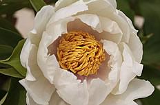 唯美白色牡丹花图片
