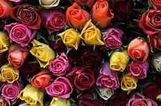美丽的五彩玫瑰花图片