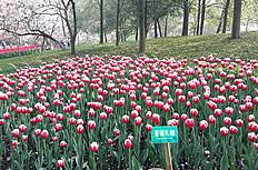 太子湾郁金香图片