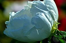 白色牡丹花图片