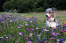花丛里的小狗图片