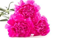 鲜艳的康乃馨图片