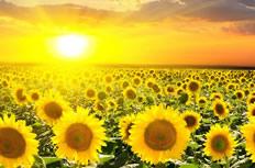 唯美阳光下的向日葵图片