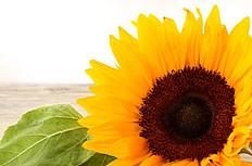 阳光下的向日葵花盘图片